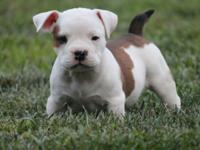 Sick of looking around trying to find a American bully