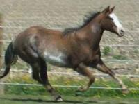 8 year old paint mare. 15hh. ready to win someone some
