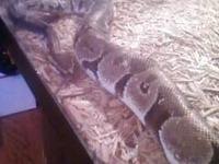 Very tame,8 year old male python.If your looking for a