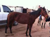 Broke 8 year old bay mare! Will ride with just halter