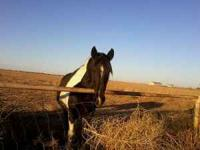8 year old black and white paint mare. She is green