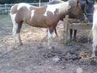 hi all i have a 8 year old paint mare shes registered