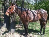 Price reduced!! 8 Yr grade bay roan quarter gelding