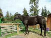 8 year old chocolate AQHA registered gelding; big,