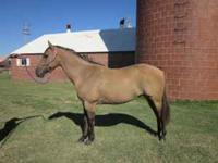 Mr Bars Poco Registered Quarter Horse Age: 8 yr Hands: