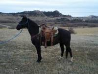 8 yr. old ranch gelding used in all aspects of ranching