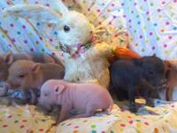 I have a new litter of 9 micro mini pigs that will be