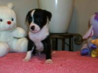 Male 8 weeks old 1st shots and deworming Eating puppy
