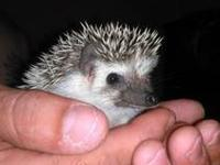 I have a 7 week old female hedgehog for sale she is