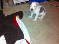 I have a beautiful blue nose pitbull he has razor edge