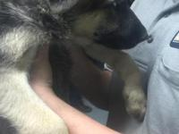 8wk old female German Shephard. She comes with shots