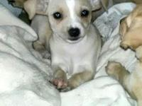 8wk old Chihuahua Puppy~ Vaccinated & Weened! Ready to