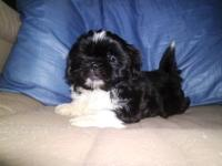 I have a female shih tzu puppy. She is 8 wks old, ckc