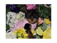 STUNNING Teacup Yorkies ONLY 1.3lbs OUNCES AT 8WKS!
