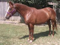 Real Pretty 8 year old Chestnut Quarter Horse mare. 15