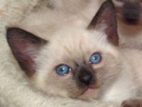 9 adorable Siamese kittens for sale, born 7/29/15.