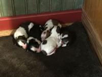 We have 8 male and 1 female puppy for sale. They are