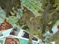 I have 9 fine pitbull pups for sale here. All are