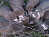 9 blue red nose silver pitbulls 2 months old have first