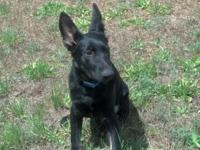 9 month old Akc male German Shepherd, pure black with a