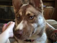 9 month old Female Siberian Husky up to date on shots,