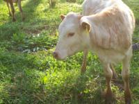 I have a 9 month old Longhorn heifer for sale. She is
