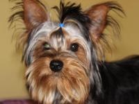Meet Cosmo He is a 9 month old male Yorkie he is great