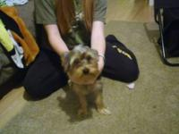 9 month old male yorkie to good home. Approximately 6