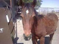 I am selling a 9 month old paint/grulla colt. He is bay