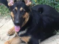 Black and red purebred male German Shepherd. 9 months