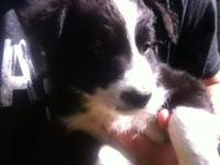 We have 9 beautiful healthy Pure breed border collie