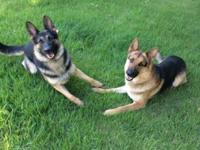 I have 3 female AKC German Shepherd puppies! They are 9