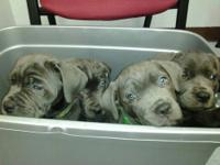 I.C.C.F REGISTERED ITALIAN CANE CORSO PUPPIES WITH