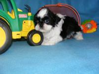 Shih Tzu puppies, 9 weeks old, 1 male offered. This