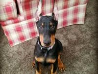 Ready to go are 4 beautiful Doberman Pinscher puppies!