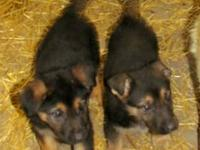 AKC Registered. One Male German Shepherd Puppy for