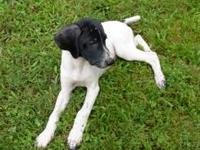 1 female German shorthaired puppies for sale. 9 weeks