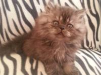 I a 9 week old beautiful Blue Smoked Persian Male