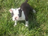 2 sweet CKC Boston terrier puppies for sale..They are