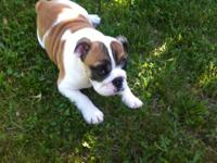 adorable,female,13 pound English bulldog,she is very