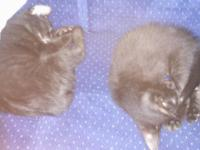 2 all black males 1 Grey tatabby male 1 Grey and white