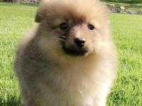 We have one little Pomeranian puppy ready to go to his