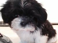 I have a nine week old male Shih Tzu puppy for sale. He