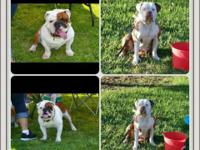 I have 2 Boys and Two woman Olde English Bulldogs for
