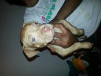 9 week old pit bull puppies for sale. Mother is a blue