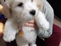 Hi there! I am selling a 9 week old Shichon puppy,He is