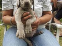 Available puppies are posted at our website. We have