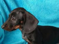 Amazing little dachshund boy looking for his family!