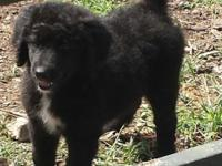 Lady is a cross between an akc reg standard poodle and