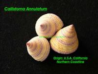 Here are three beautiful and rare snail shells in